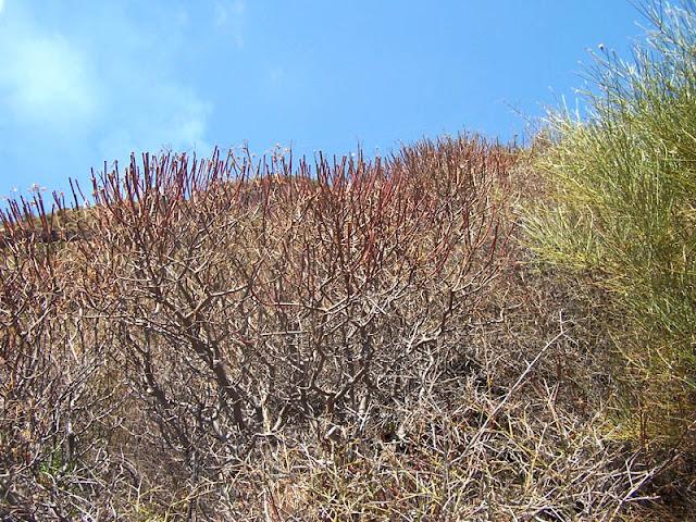 Estivazione su Euphorbia dendroides