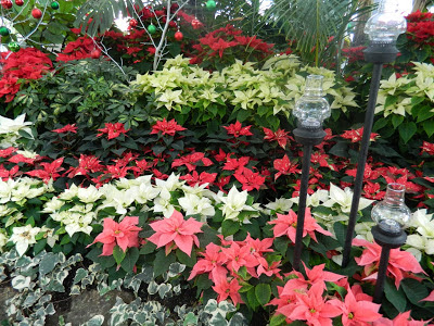 layers of white red pink poinsettias at allan gardens christmas flower show 2012 by garden muses: a toronto gardening blog