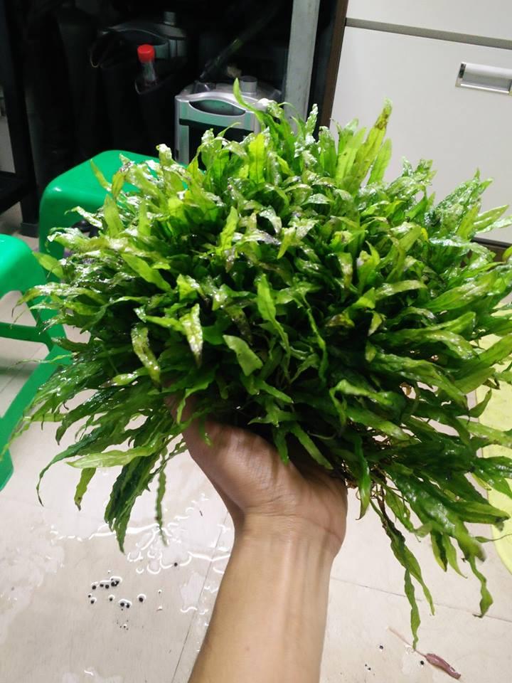 Cây thủy sinh dương xỉ mỹ nhân khi cầm trên tay