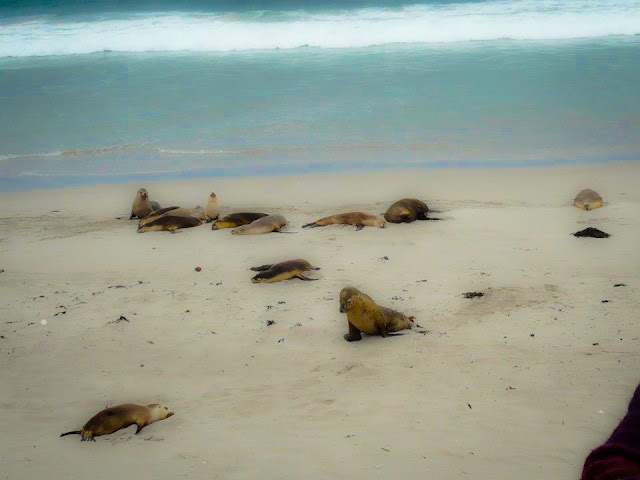 seals south australia
