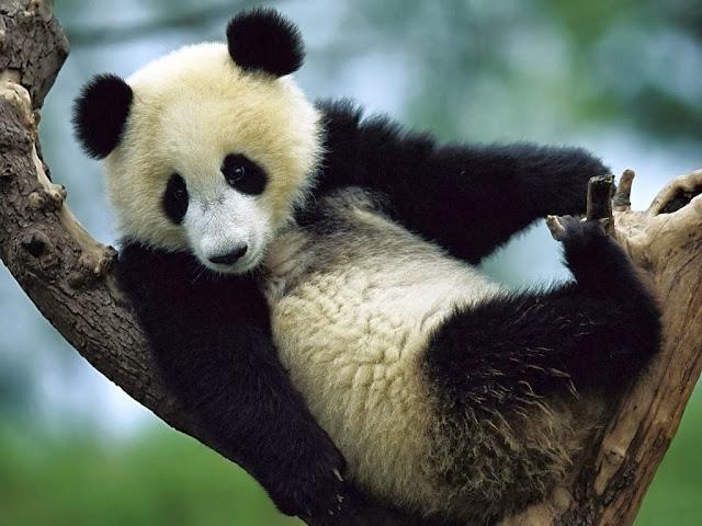 panda-gigante-Ailuropoda-melanoleuca