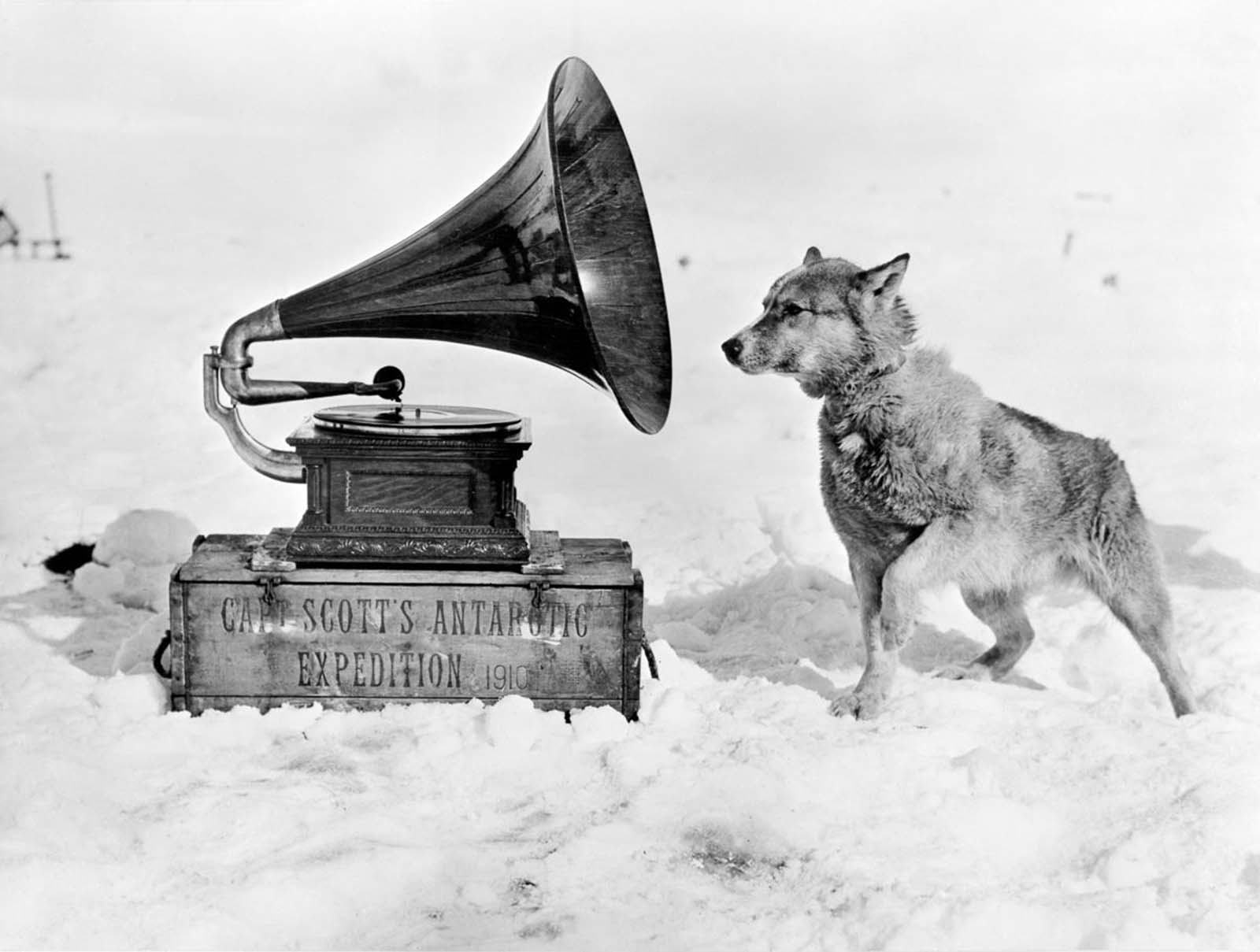 Chris the sled dog listens to a gramophone. 1911.