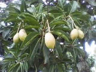 manfaat-buah-kemang-bagi-kesehatan,www.healthnote25.com