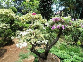 Harga jual tanaman bougenvile murah