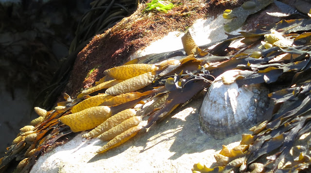 The yellow bladders belong to Spiral Wrack (Fucus spiralis) on a rock.
