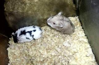 Cara Mengawinkan Hamster Campbell Hingga Berhasil