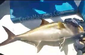 Mancing Jigging Dapat Ikan Amberjack Monster