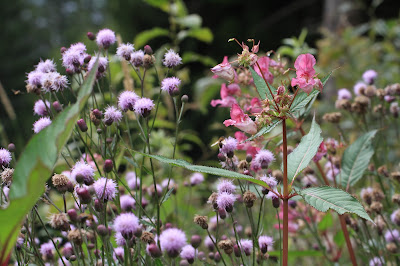 Cirsium arvense and Impatiens glandulifera.