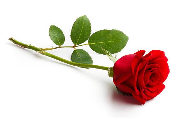 Fakta Unik Bunga Mawar