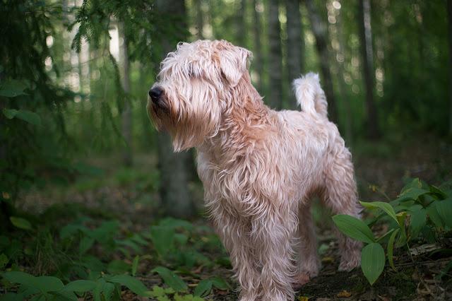 Irish dog breeds - Irish dogs