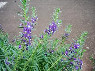 lavender pengusir nyamuk
