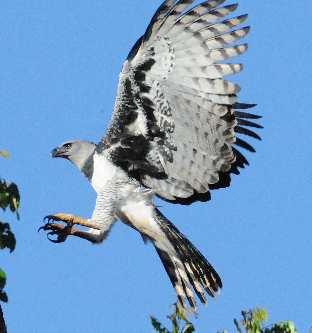 Animal Kingdom: Harpy Eagle