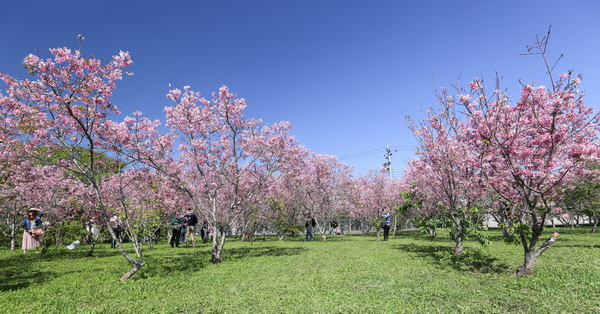 《台中.新社》賞櫻秘境,新社月湖莊園的上百棵粉紅吉野櫻盛開,免費參觀