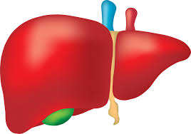 what is human liver