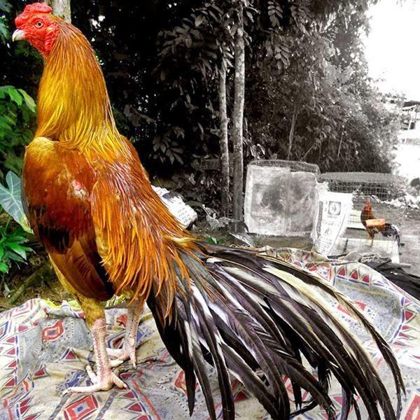 Ayam Bangkok Bagus, Super dan Berkelas | Ayam Juara