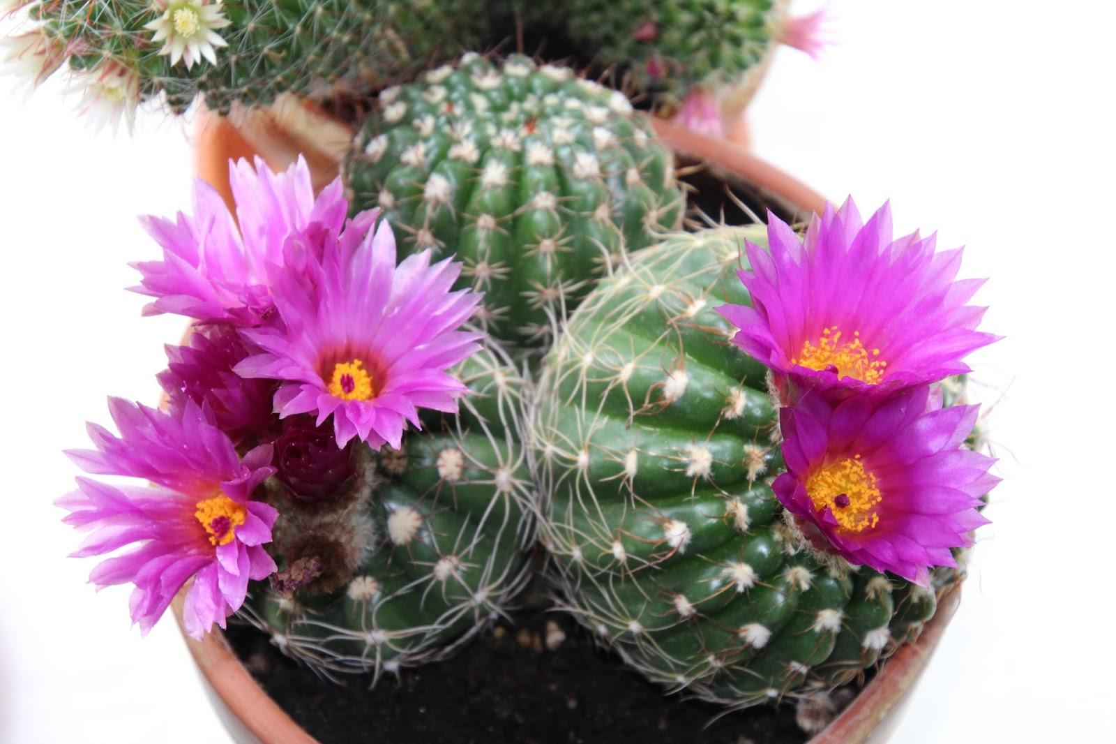 kaktus odlingstips
