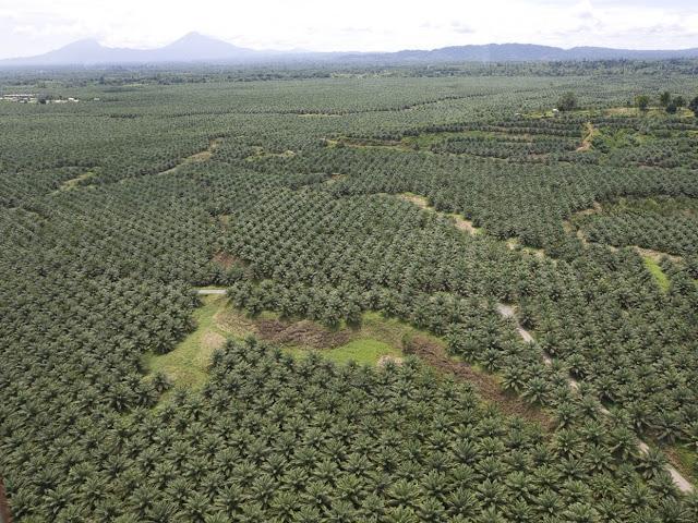 Vista Aerea Campo di Palme da Olio