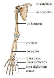 Üst-Alt Ekstremite Kemikleri ve Anatomisi
