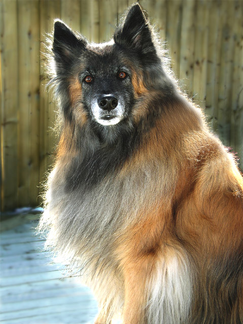 The dog in world: Belgian Tervuren dogs