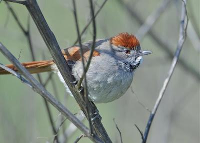 passeriformes en Argentina Pijuí frente gris Synallaxis frontalis