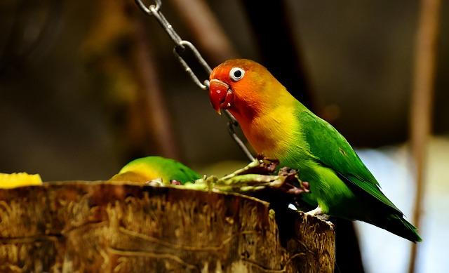 Inilah Jenis LoveBird yang bagus untuk dilombakan
