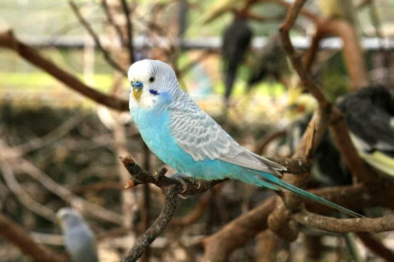 suara burung parkit gacor untuk masteran burung kicau Suara Burung Parkit Gacor Untuk Masteran Burung