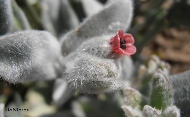 Pardoglossum cheirifolium Viniebla en flor