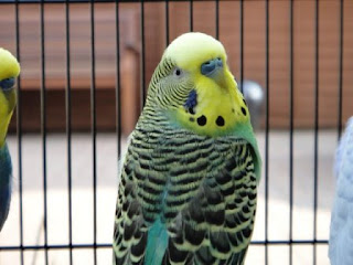 Circus the Budgie