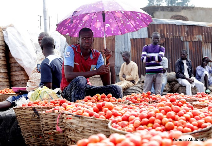 GOOD NEWS! Tomato price crashes from N25,000 to N800 per basket