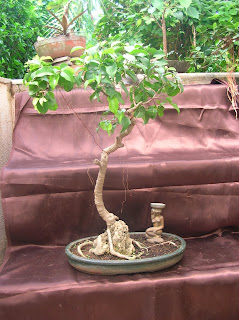 ficus root on the rock bonsai