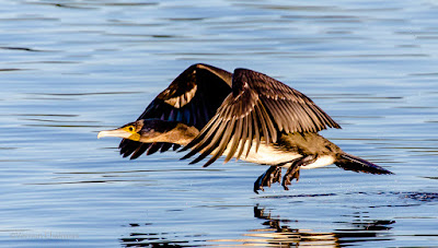 Canon EOS 6D Full Frame Body / EF 70-300mm f/4-5.6L IS USM Lens Birds In Flight Test 05