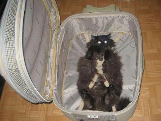 Katze in Koffer verstaut bereit für den Urlaub