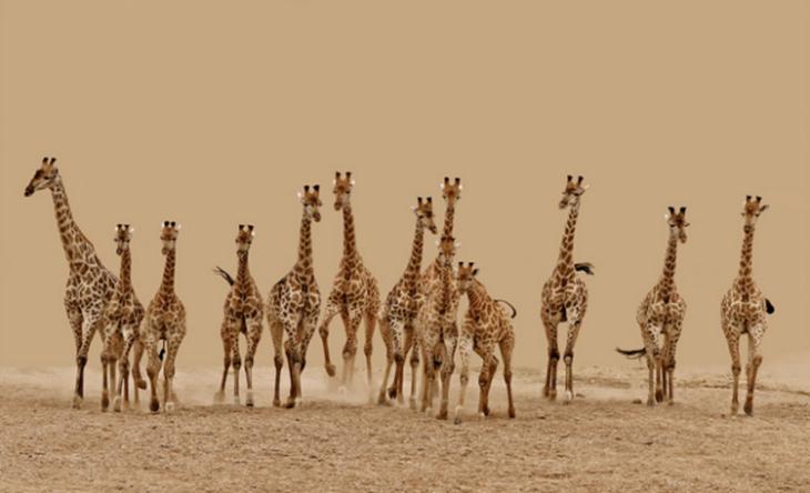 Girafas correndo