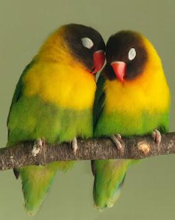 penyebab ternak lovebird gagal