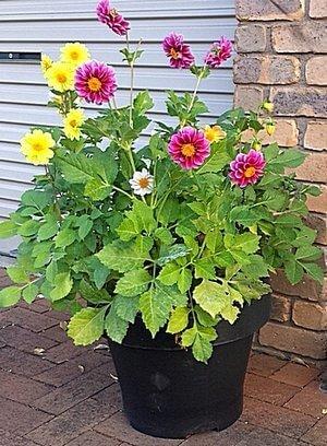 Dahlias growing in a pot
