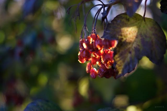 Bacche in autunno. Fotografia di Giovanni Battisti