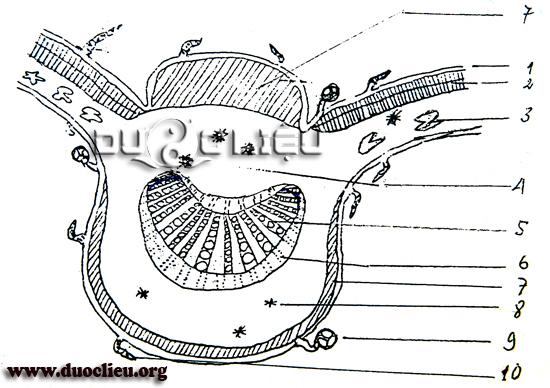Hình 2.4.2a: Vi phẫu lá Cà độc dược