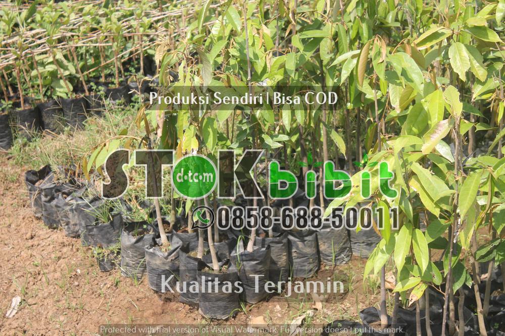 Pengiriman Bibit Ke Kalimantan      Lengkap     terjamin