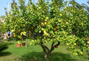 Un pensionato in cucina il limone 1 limoncello for Alberi frutta vendita