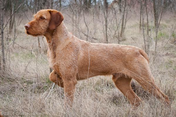 Breeding Dog Hungarian Vizsla