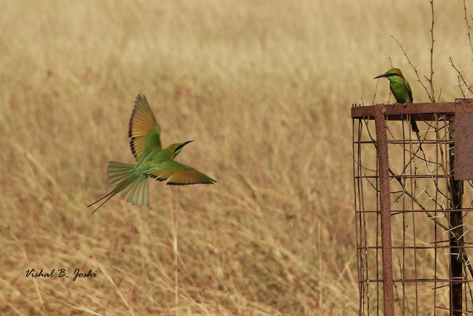 I have clicked these naughty bee-eaters so many times earlier on many bird  watching trips, but this has to be the best click so far.