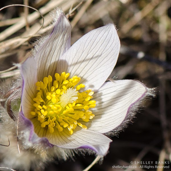 Prairie Crocus. Copyright © Shelley Banks, all rights reserved