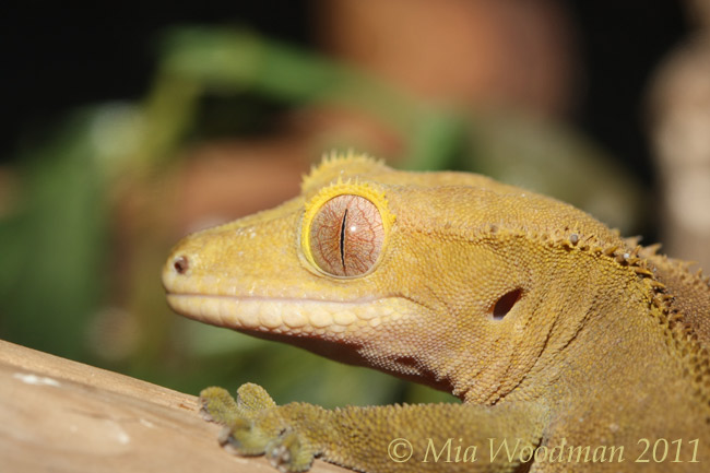 how to tell if your crested gecko is happy