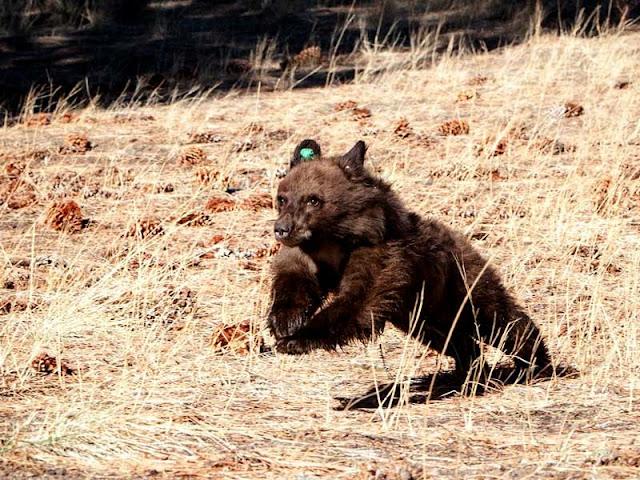 Ursos em Las Vegas