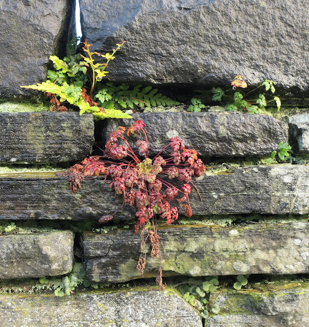 Selection of plants growing on a wall in Halifax, West Yorkshire.
