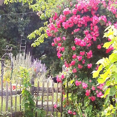 Der Garten der Österreichischen Pinscher vom Altersberg