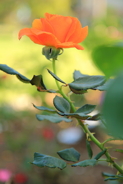 Orange Rose - Flower Photography by Mademoiselle Mermaid.