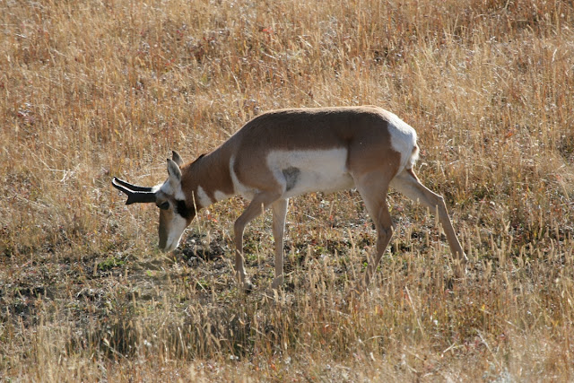 Pronghorn facts and information 7