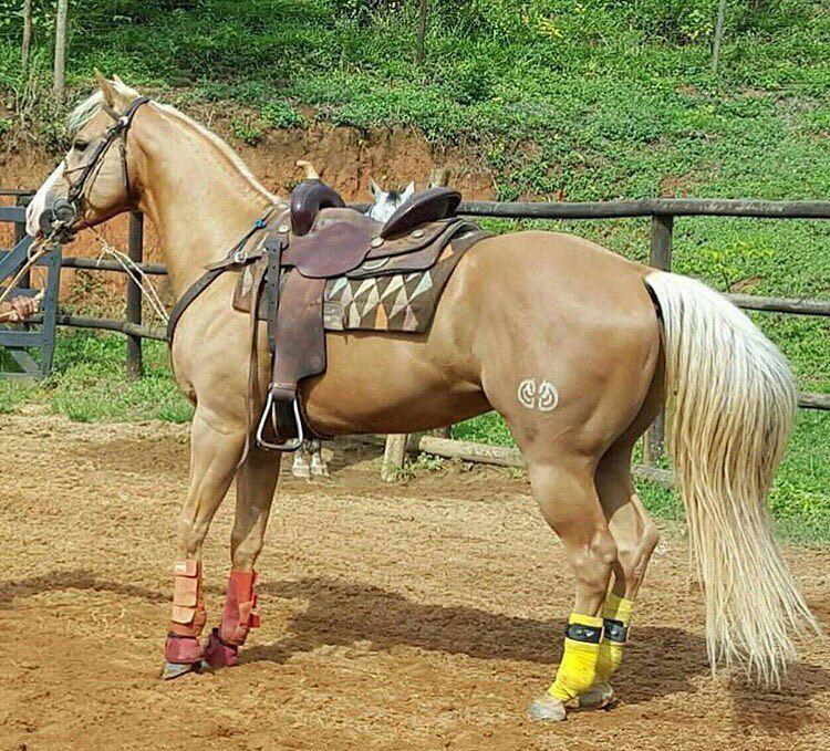 Cavalo Uma Paixão Quarto de Milha (Quarter Horse)  ~ Wallpaper Quarto De Milha