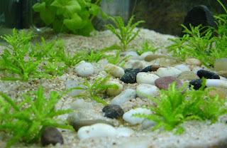 Jenis Tanaman Karpet Aquascape Pogostemon Helferi
